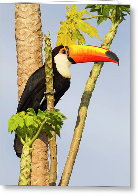 Brazil, Mato Grosso, The Pantanal, Toco Greeting Card