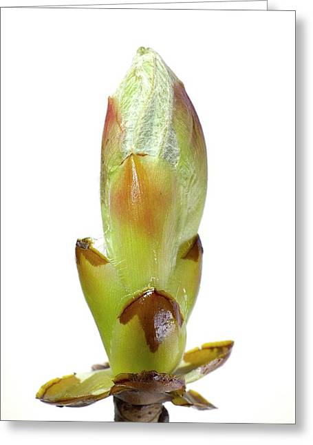 Breaking Bud Of Aesculus Hippocastanum Greeting Card
