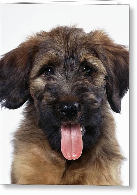 Briard Puppy Dog Greeting Card by John Daniels