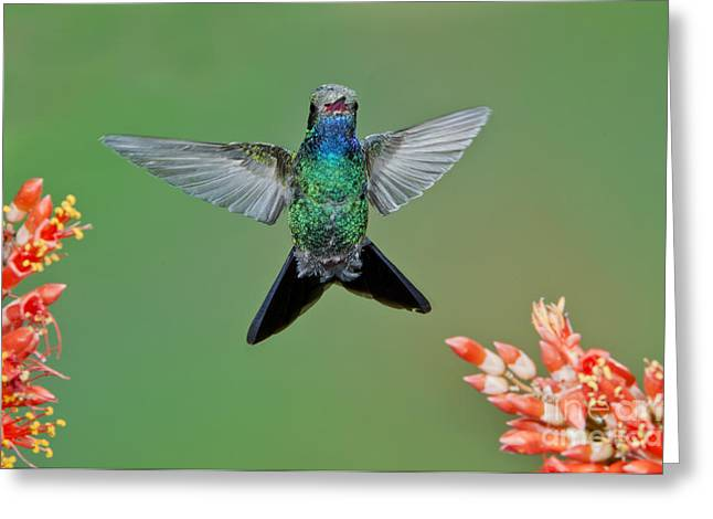 Broad-billed Hummingbird Greeting Card by Anthony Mercieca