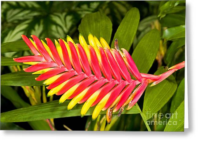 Bromeliad Blossom - Tillandsia Greeting Card