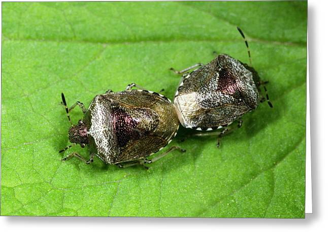 Bronze Shieldbugs Mating Greeting Card by Nigel Downer