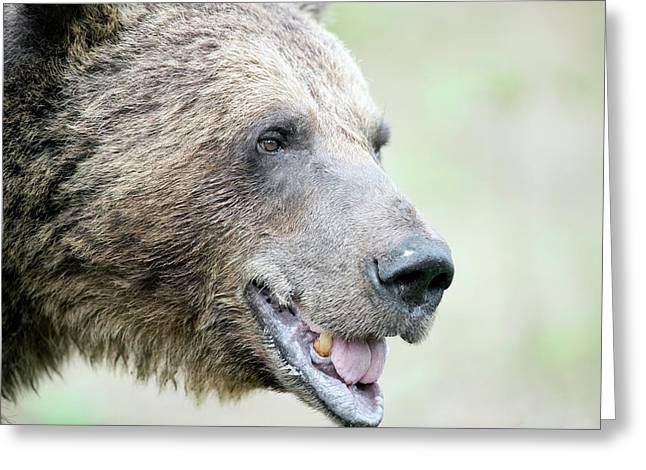 Brown Bear Greeting Card by Dr P. Marazzi/science Photo Library