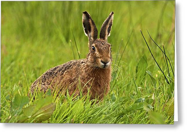 Brown Hare Greeting Card by Paul Scoullar