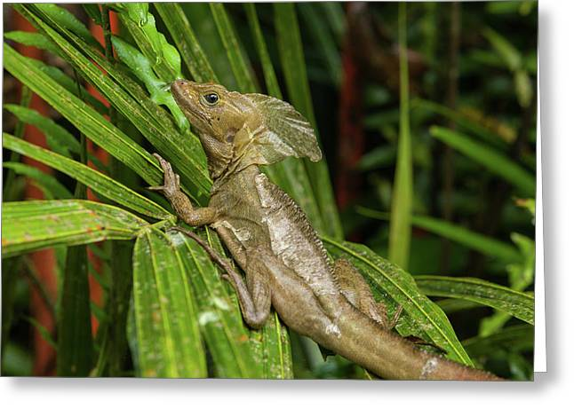 Brown Or Striped Basilisk Rests On Palm Greeting Card