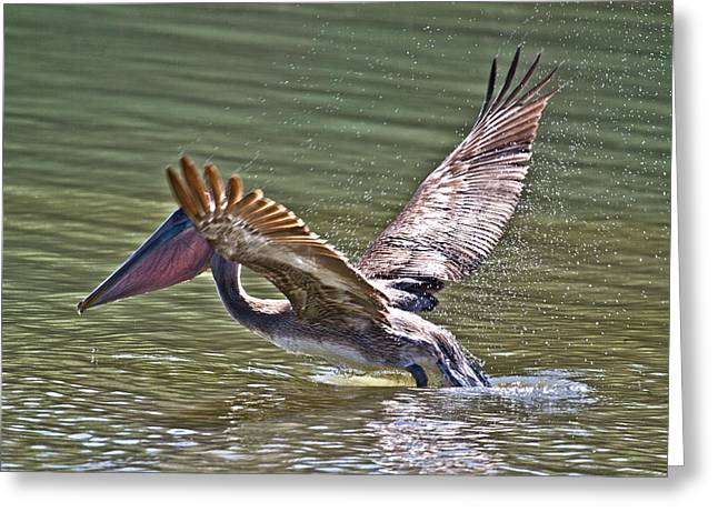 Brown Pelican Greeting Card by Betsy Knapp