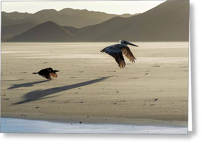 Brown Pelicans Greeting Card by Christopher Swann