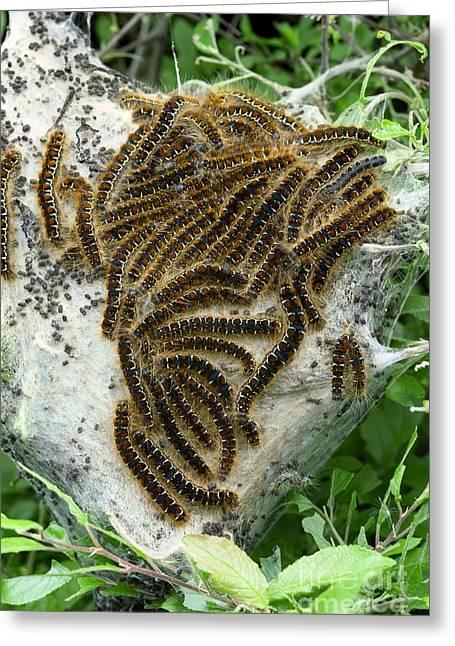 Brown Tail Moth Larvae Greeting Card
