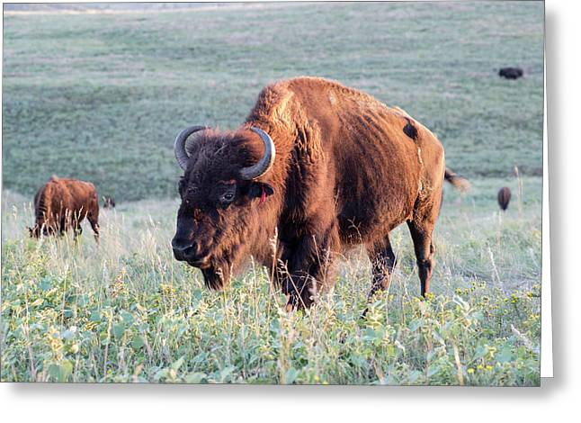 Buffalo In Custer State Park (large Greeting Card