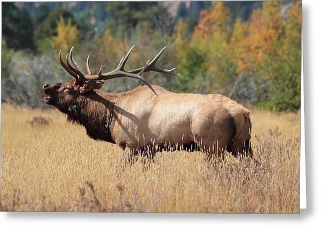 Bugling Bull Greeting Card