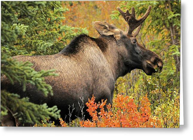 Bull Moose, Feeding, Denali National Greeting Card