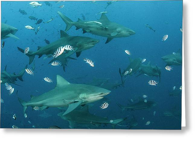Bull Shark (carcharhinus Leucas Greeting Card by Pete Oxford
