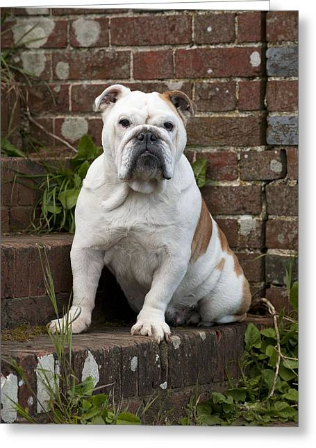 Bulldog On Steps Greeting Card by John Daniels