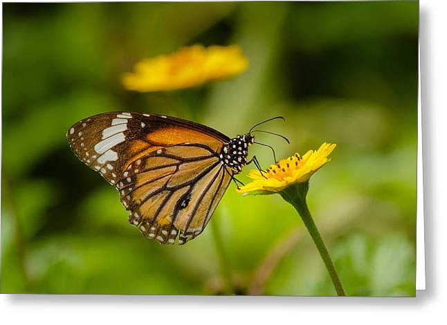 Butterfly - Common Tiger Greeting Card
