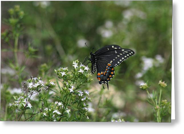 Spicebush Swallowtail Butterfly Greeting Card by Corey Haynes