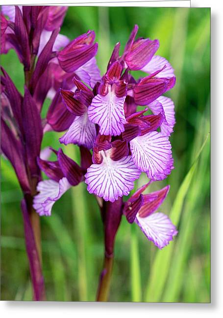 Butterfly Orchids (orchis Papilionacea) Greeting Card by Bob Gibbons