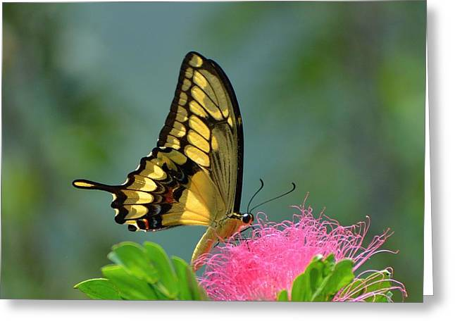 Butterfly Papilio Thoas Nealces Greeting Card by Michael Lilley