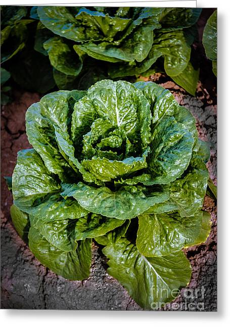 Butterhead Lettuce Greeting Card by Robert Bales