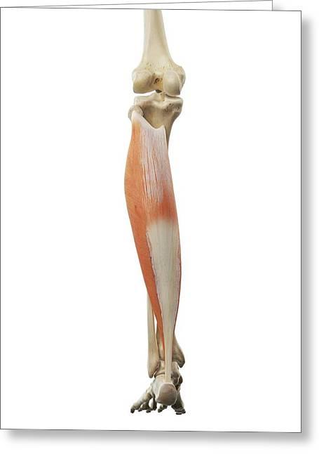 Calf Muscle Greeting Card