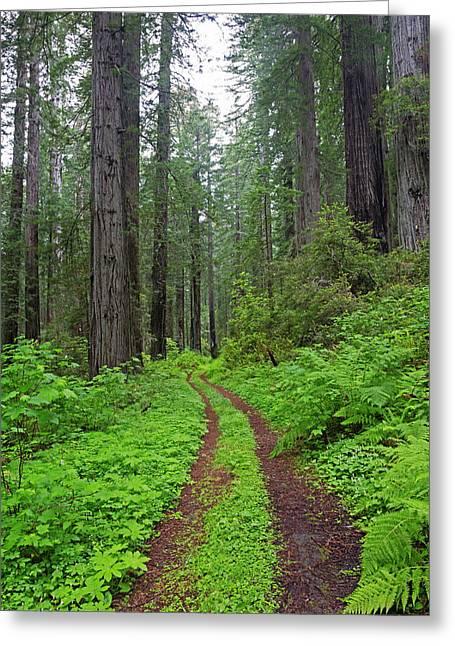 California, Del Norte Coast Redwoods Greeting Card