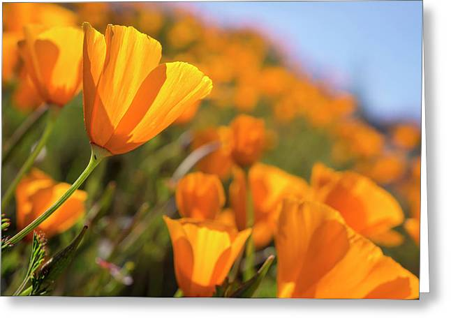 California Poppies, California Central Greeting Card