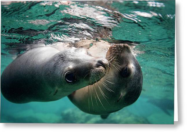 California Sea Lions In Shallow Water Greeting Card by Christopher Swann