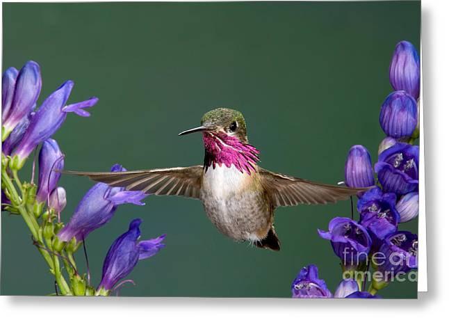 Calliope Hummingbird Stellula Calliope Greeting Card