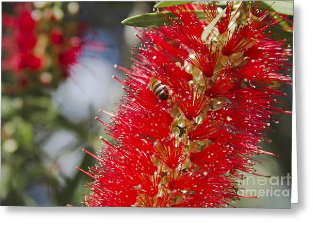 Callistemon Citrinus - Crimson Bottlebrush Greeting Card by Sharon Mau