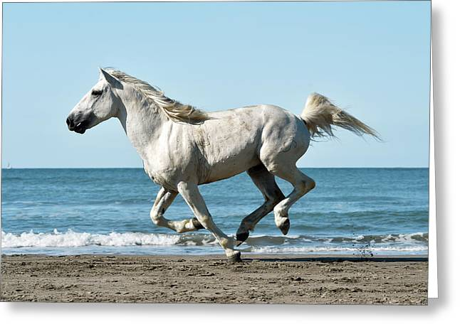 Camargue Horse Greeting Card by Dr P. Marazzi