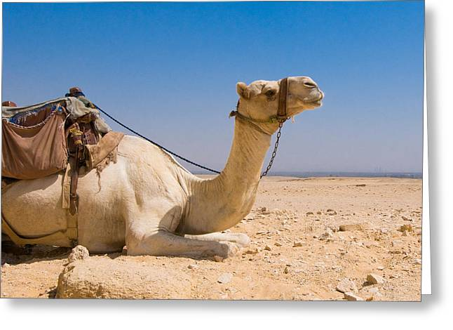 Camel In Desert Greeting Card by Konstantin Kalishko
