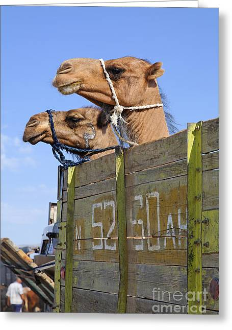 Camels At The Ashgabat Sunday Market In Turkmenistan Greeting Card by Robert Preston