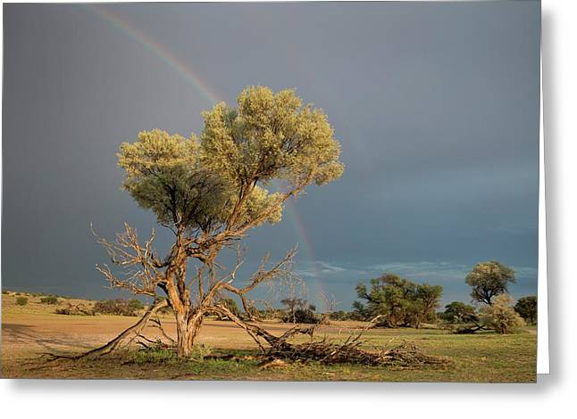 Camelthorn Trees In The Auob Riverbed Greeting Card by Tony Camacho