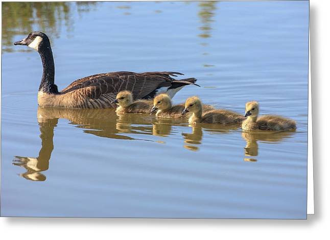Canada Goose With Chicks Greeting Card by Tom Norring