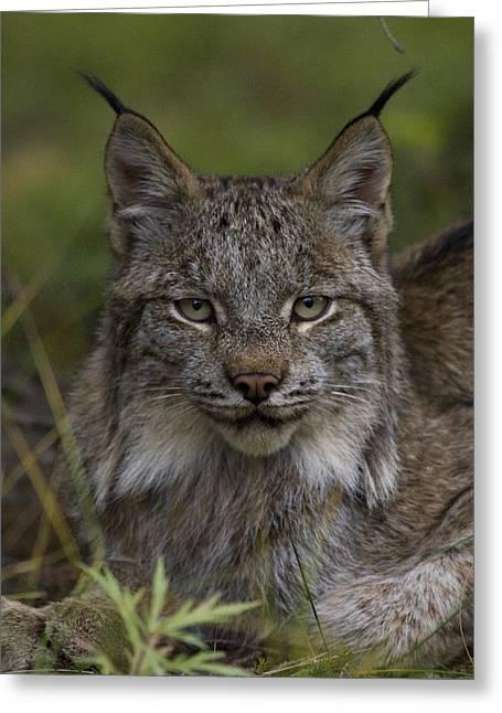 Canada Lynx Portrait Greeting Card