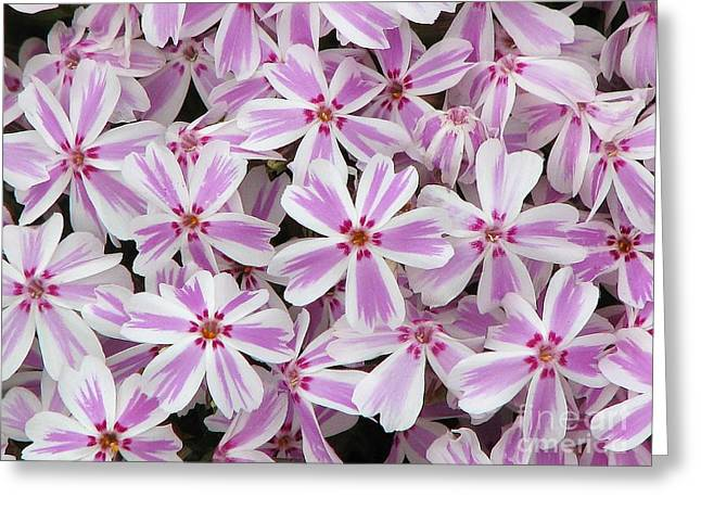 Candy Stripe Phlox Greeting Card by Michele Penner
