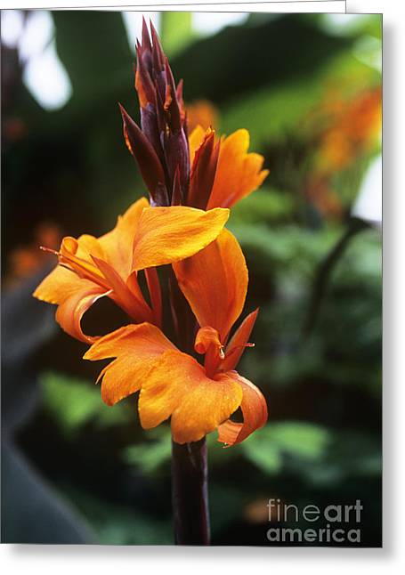 Canna Lily Roi Humbert Greeting Card by Adrian Thomas