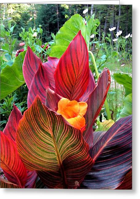 Canna Lily Stripes Greeting Card by MTBobbins Photography