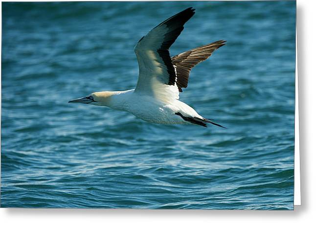 Cape Gannet (morus Capensis Greeting Card by Pete Oxford