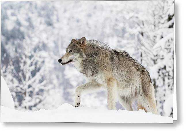 Captive  Female Tundra Wolf In Snow Greeting Card
