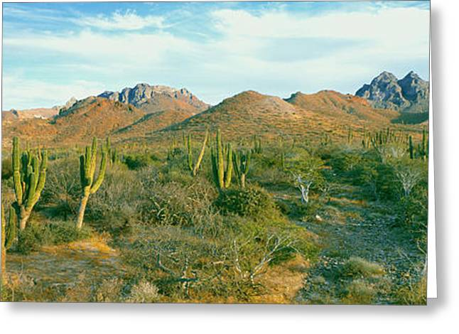 Cardon Cactus Pachycereus Pringlei Greeting Card by Panoramic Images