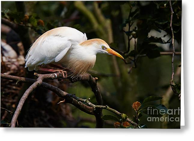 Cattle Egret In A Tree Greeting Card