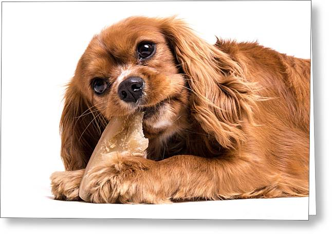 Cavalier King Charles Spaniel Puppy Greeting Card by Edward Fielding