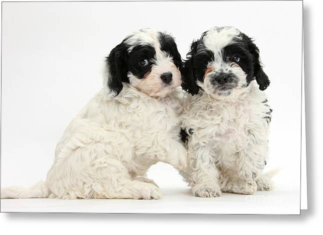 Cavapoo Puppies Greeting Card by Mark Taylor