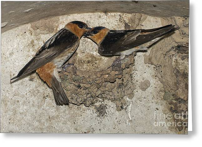 Cave Swallows Greeting Card by Anthony Mercieca