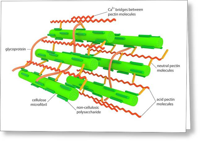 Cell Wall Microstructure Greeting Card by Science Photo Library