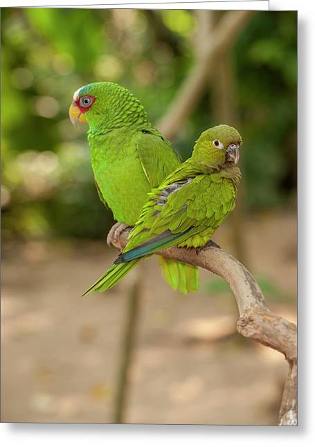 Central America, Honduras, Roatan Greeting Card by Jim Engelbrecht