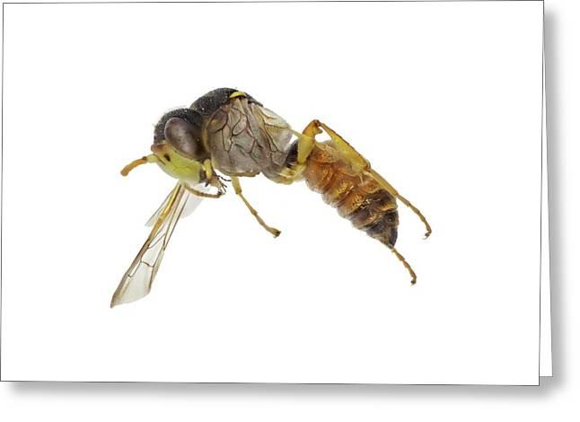 Cerceris Flaviventris Wasp Greeting Card by F. Martinez Clavel