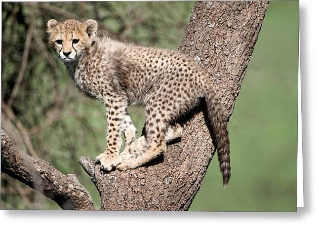 Cheetah Cub Acinonyx Jubatus Climbing Greeting Card by Panoramic Images