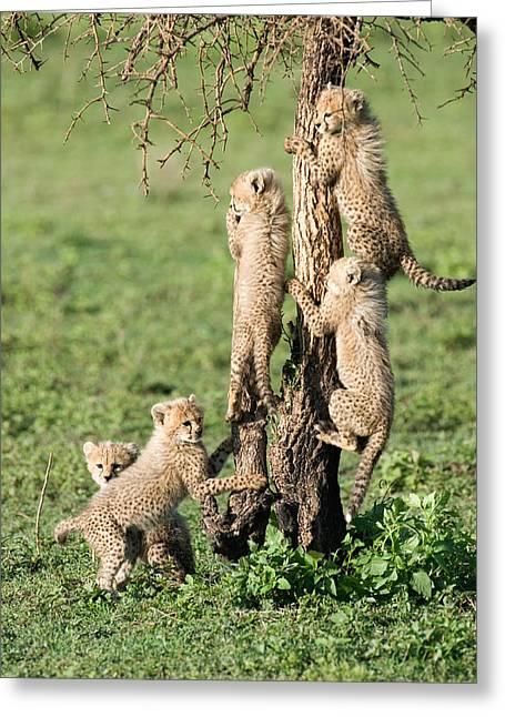 Cheetah Cubs Acinonyx Jubatus Climbing Greeting Card by Panoramic Images