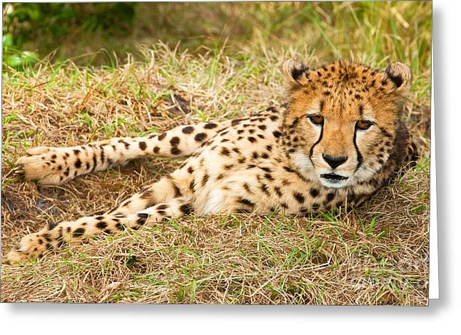 Cheetah Greeting Card by Millard H. Sharp